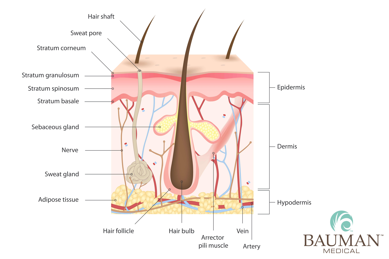 hair follicle anatomy adipose DrAlanBauman · Bauman Medical